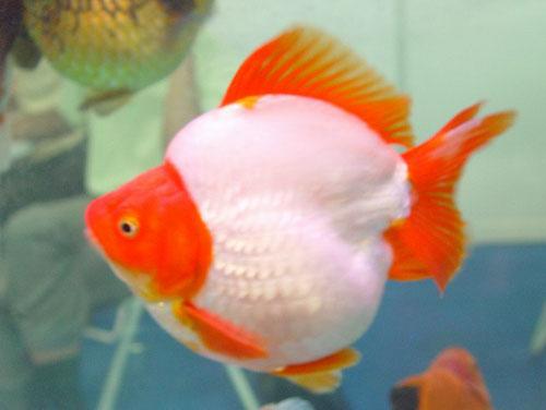 Goldfish of china for Pesci rossi prezzo